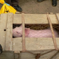 Narrenbaumholen in Hegne: Die Schlafkappen bekamen ein Schwein von der Schneckenburg.