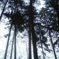Narrenbaumholen in Hegne: Der erste Baum blieb zwischen den anderen Bäumen hängen.