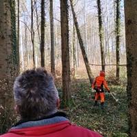 Narrenbaum holen in Hegne: Der Förster fällte den Baum.