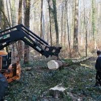 Narrenbaum holen in Hegne: Der Baum wurde aus dem Wald gezogen.